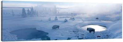 Bison West Thumb Geyser Basin Yellowstone National Park, Wyoming, USA Canvas Art Print