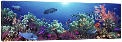School of fish swimming near a reef, Indo-Pacific Ocean Canvas Art Print