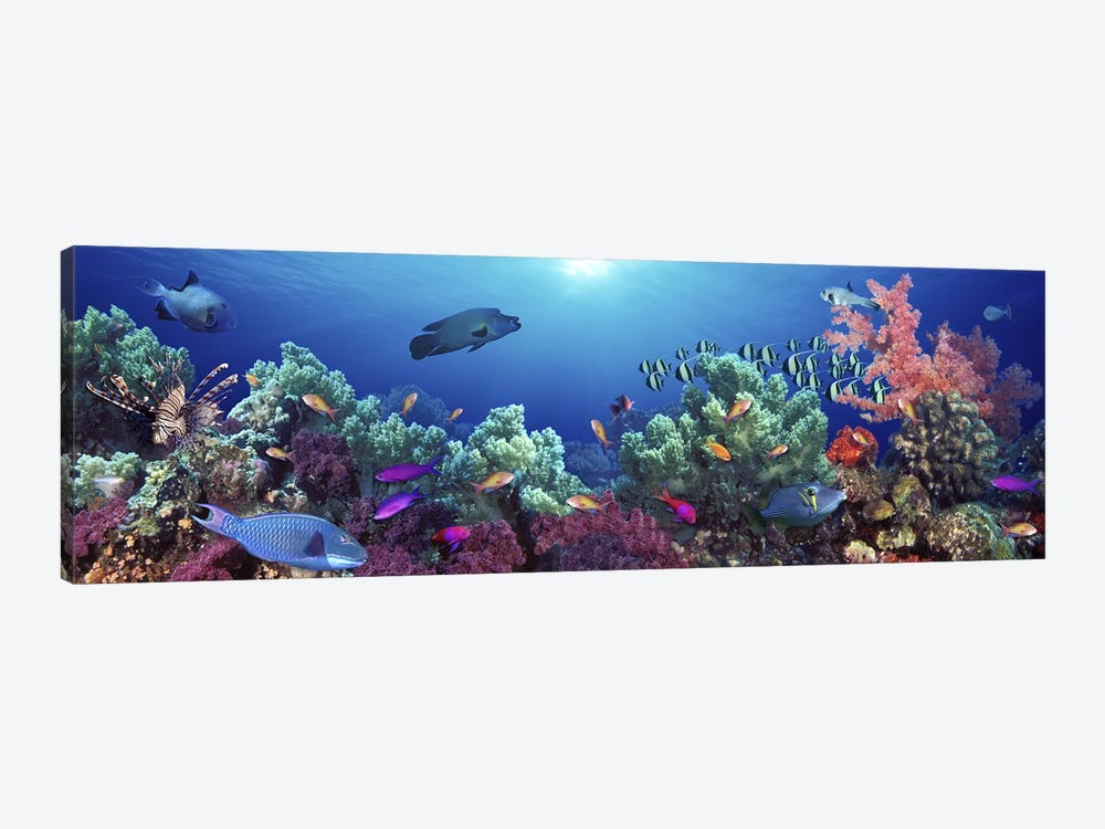 School of fish swimming near a reef, Indo-Pacific Ocean by Panoramic Images 1-piece Canvas Art Print