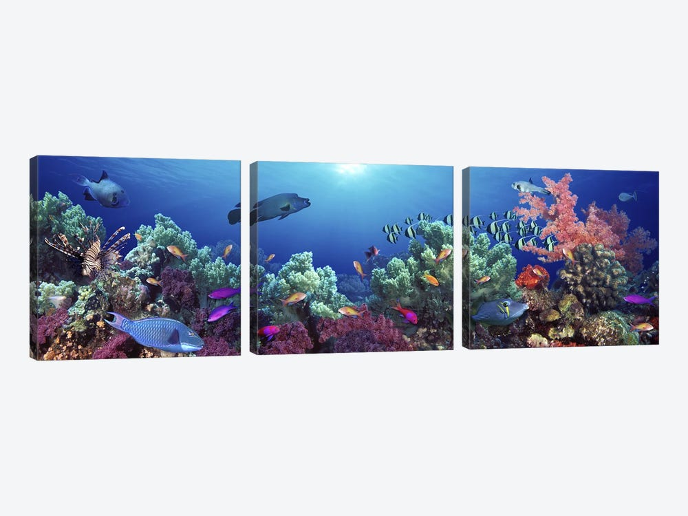 School of fish swimming near a reef, Indo-Pacific Ocean by Panoramic Images 3-piece Art Print