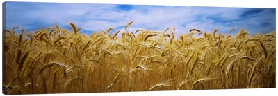 Wheat crop growing in a field, Palouse Country, Washington State, USA Canvas Art Print