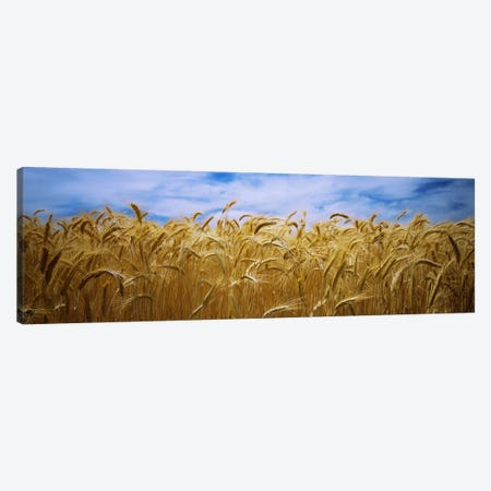 Wheat crop growing in a field, Palouse Country, Washington State, USA Canvas Print #PIM5795} by Panoramic Images Art Print
