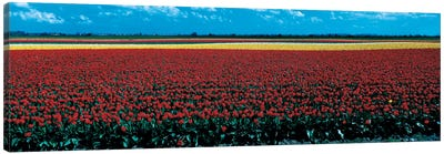 Tulip field near Spalding Lincolnshire England Canvas Art Print