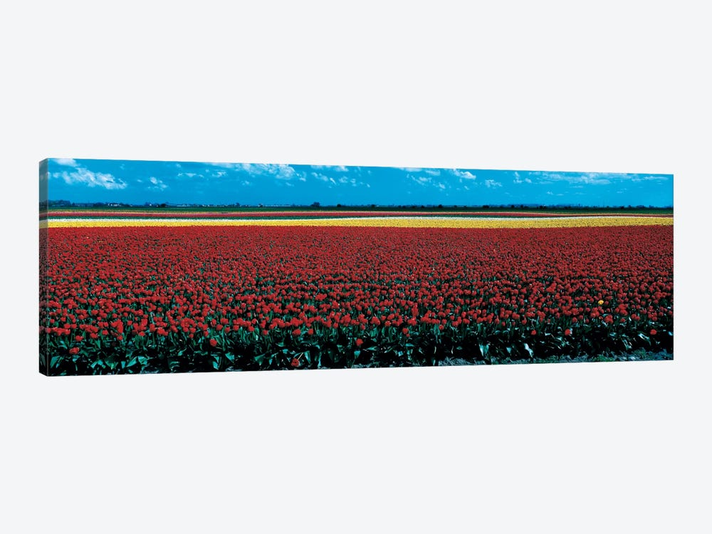 Tulip field near Spalding Lincolnshire England by Panoramic Images 1-piece Canvas Wall Art