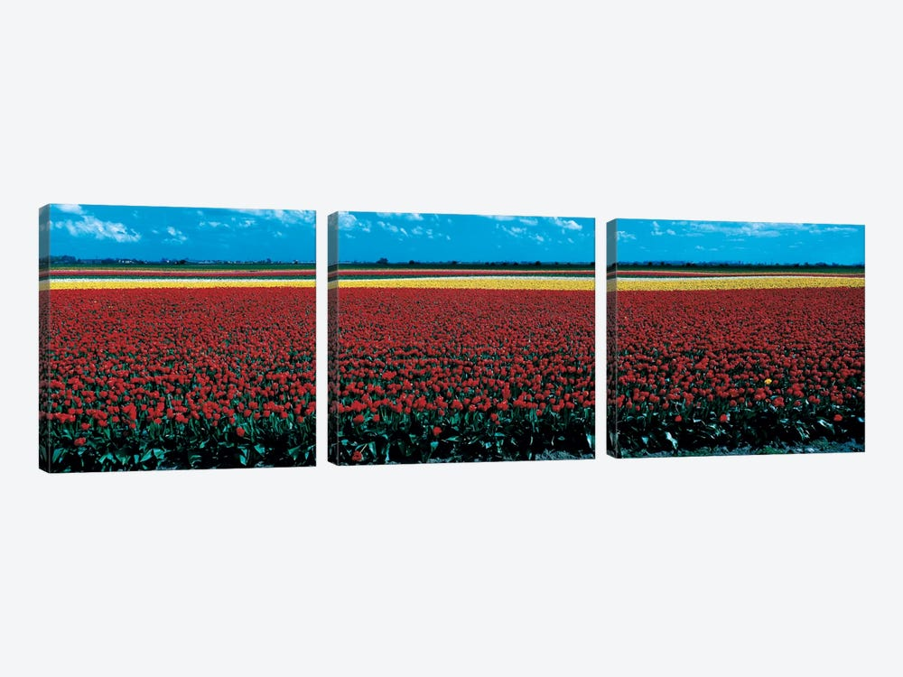 Tulip field near Spalding Lincolnshire England 3-piece Canvas Art