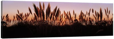 Silhouette of grass in a field at dusk, Big Sur, California, USA Canvas Print #PIM5841