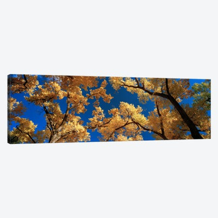 Low angle view of cottonwood tree, Canyon De Chelly, Arizona, USA Canvas Print #PIM5852} by Panoramic Images Canvas Art Print