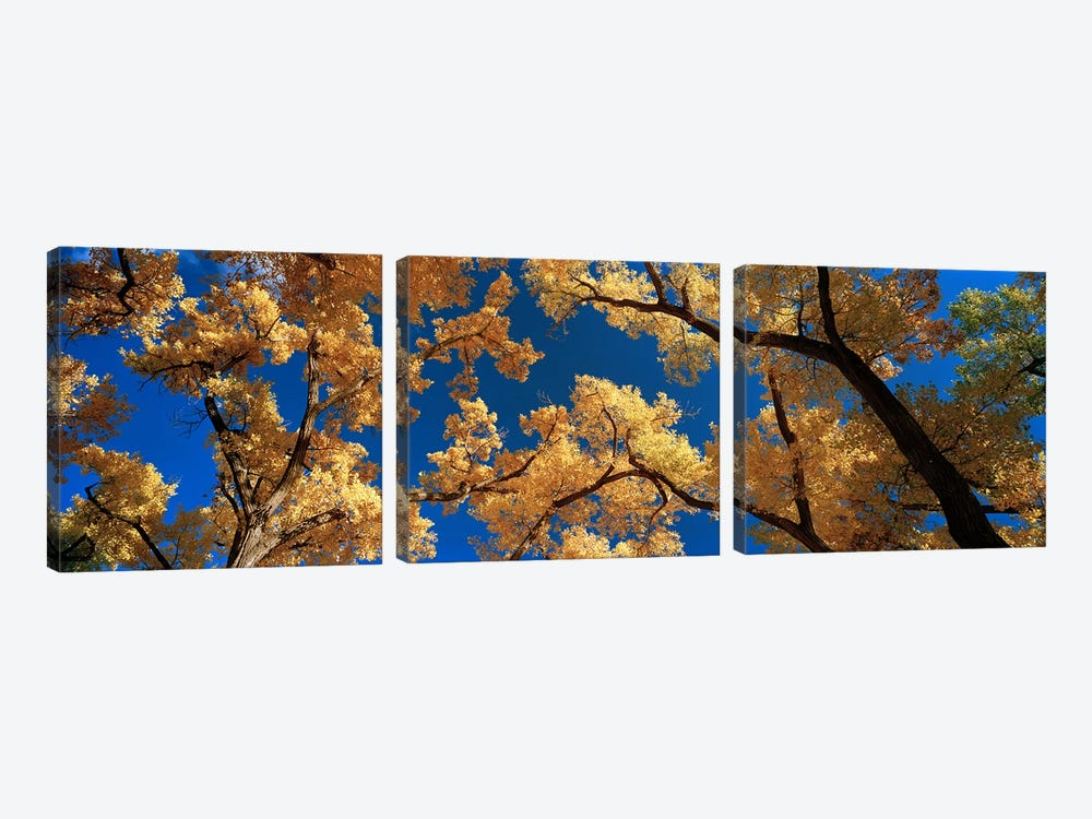 Low angle view of cottonwood tree, Canyon De Chelly, Arizona, USA by Panoramic Images 3-piece Canvas Artwork