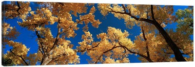 Low angle view of cottonwood tree, Canyon De Chelly, Arizona, USA Canvas Art Print