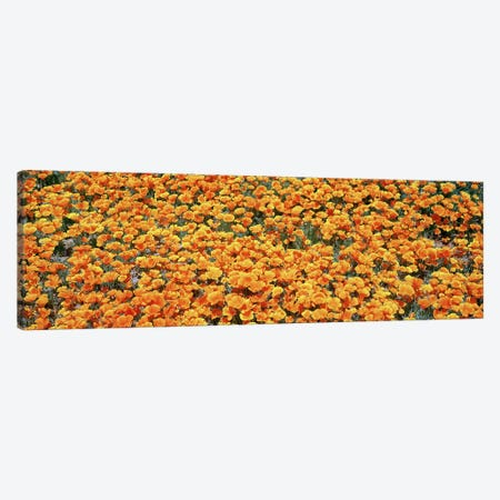 Field Of Golden California Poppies, Antelope Valley California Poppy Reserve, Los Angelese County, California, USA Canvas Print #PIM5855} by Panoramic Images Canvas Artwork