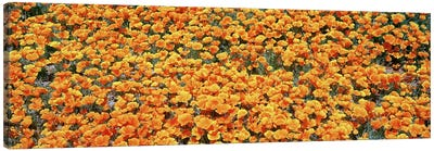 High angle view of California Golden Poppies (Eschscholzia californica), Antelope Valley California Poppy Reserve, California, U Canvas Art Print