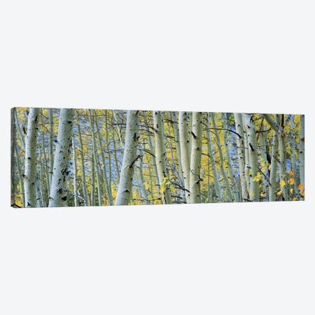 Aspen trees in a forestRock Creek Lake, California, USA Canvas Print #PIM5858} by Panoramic Images Art Print