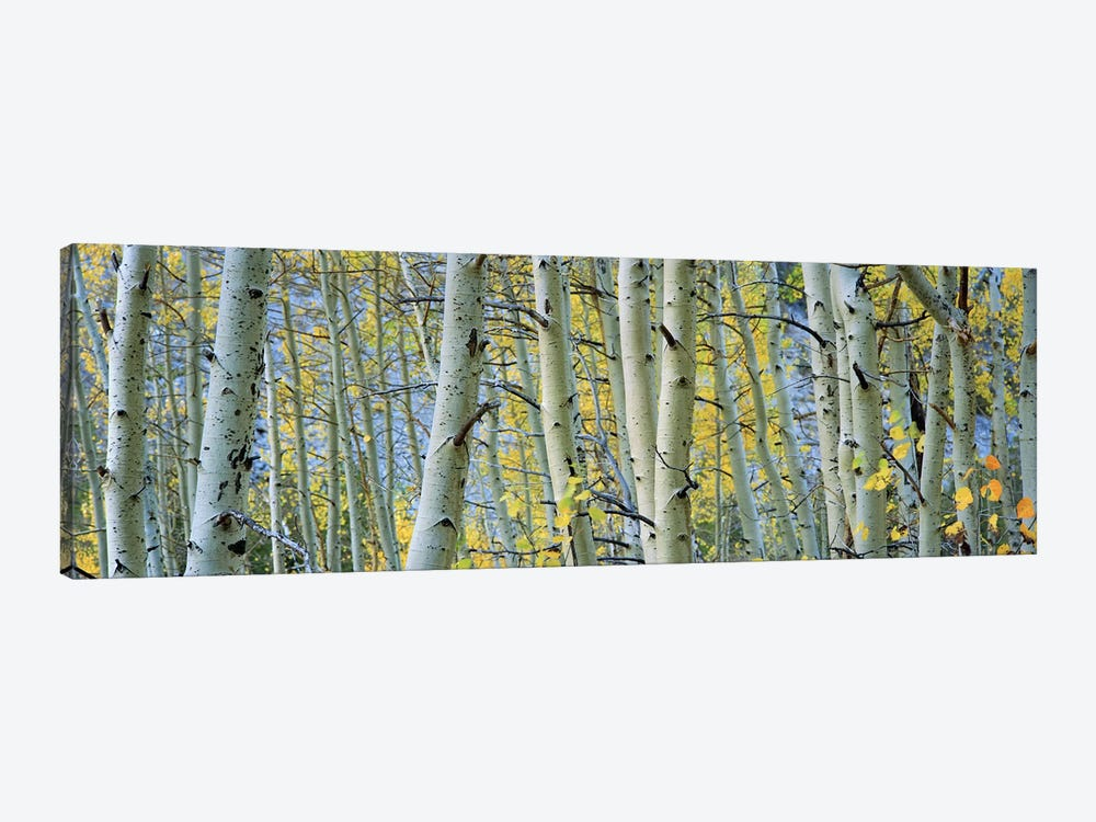 Aspen trees in a forestRock Creek Lake, California, USA by Panoramic Images 1-piece Canvas Artwork