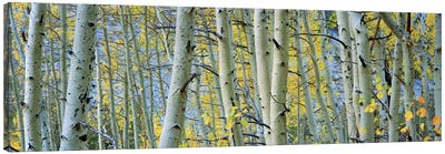 Aspen trees in a forestRock Creek Lake, California, USA Canvas Art Print