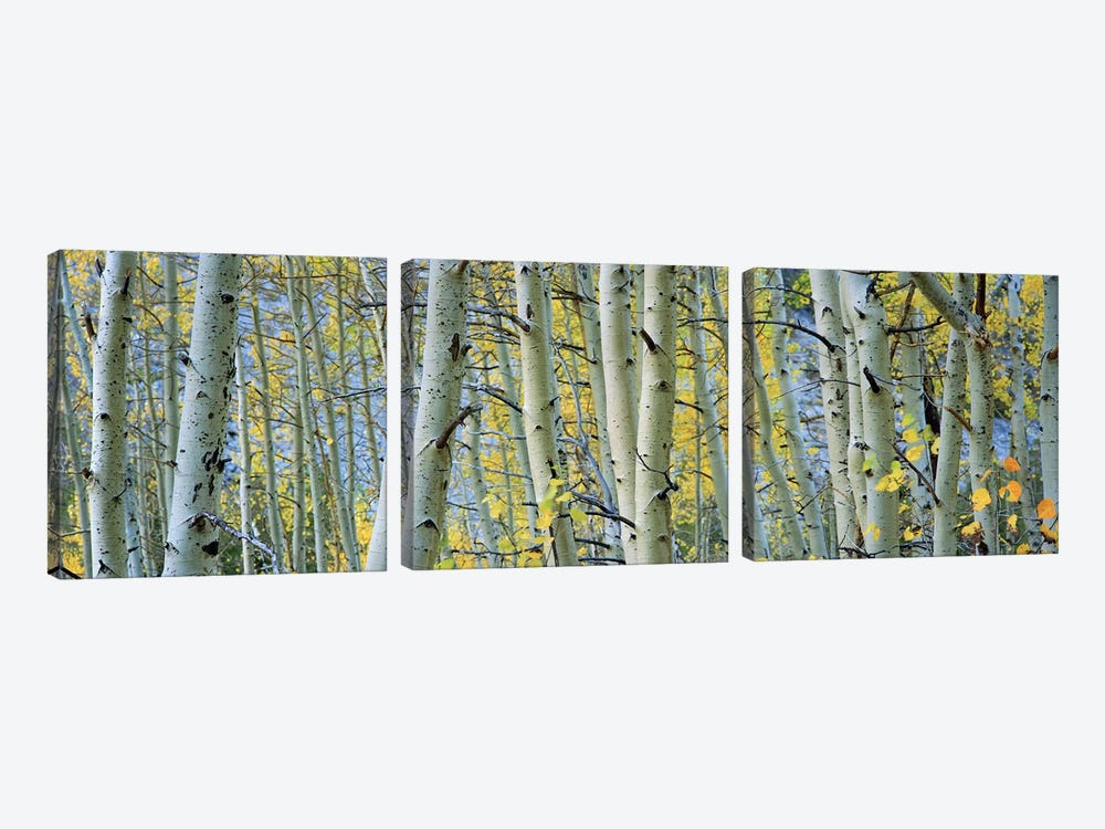 Aspen trees in a forestRock Creek Lake, California, USA by Panoramic Images 3-piece Canvas Art