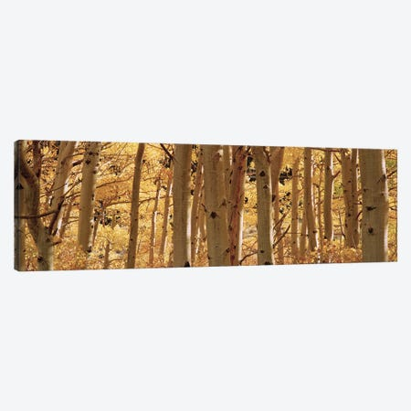 Aspen trees in a forest, Rock Creek Lake, California, USA Canvas Print #PIM5859} by Panoramic Images Art Print