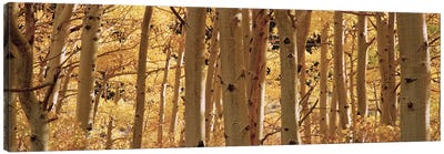 Aspen trees in a forest, Rock Creek Lake, California, USA Canvas Art Print