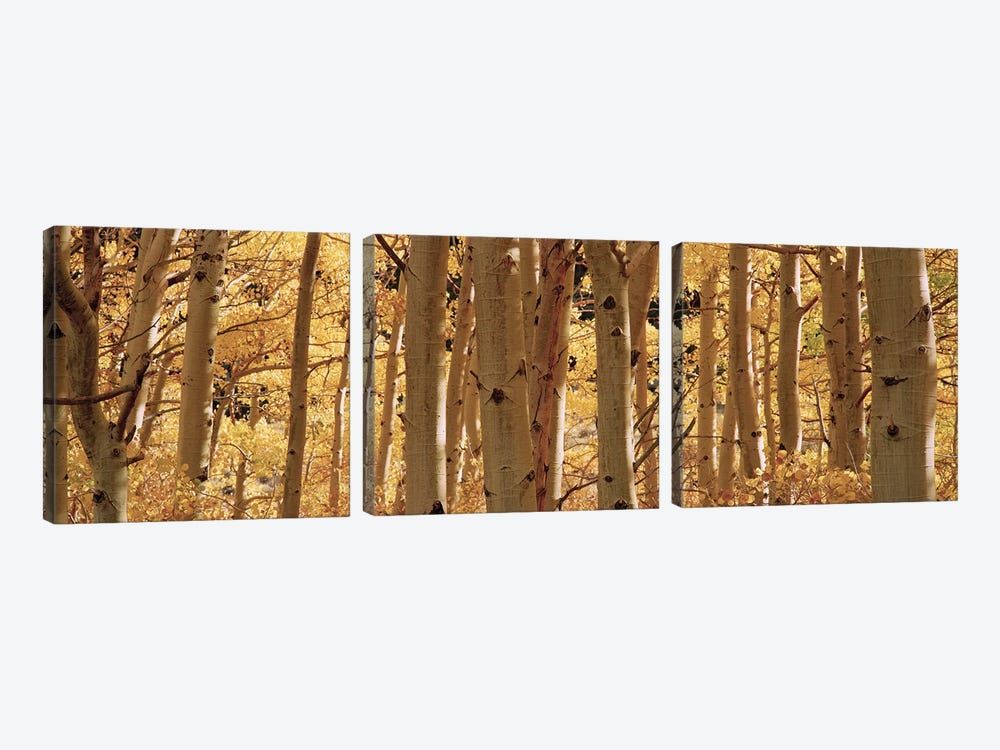 Aspen trees in a forest, Rock Creek Lake, California, USA by Panoramic Images 3-piece Canvas Art Print