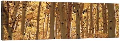Aspen trees in a forest, Rock Creek Lake, California, USA Canvas Art Print