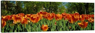 Tulip flowers in a garden, Sherwood Gardens, Baltimore, Maryland, USA #2 Canvas Art Print