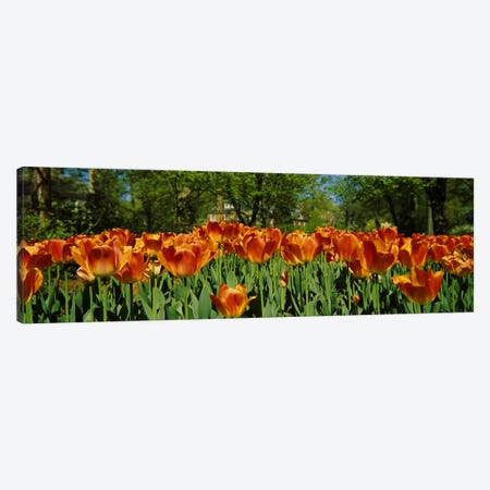 Tulip flowers in a garden, Sherwood Gardens, Baltimore, Maryland, USA #2 Canvas Print #PIM5900} by Panoramic Images Canvas Print