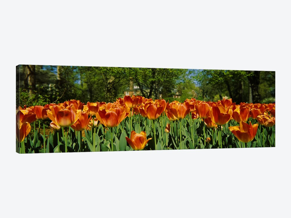 Tulip flowers in a garden, Sherwood Gardens, Baltimore, Maryland, USA #2 by Panoramic Images 1-piece Canvas Artwork