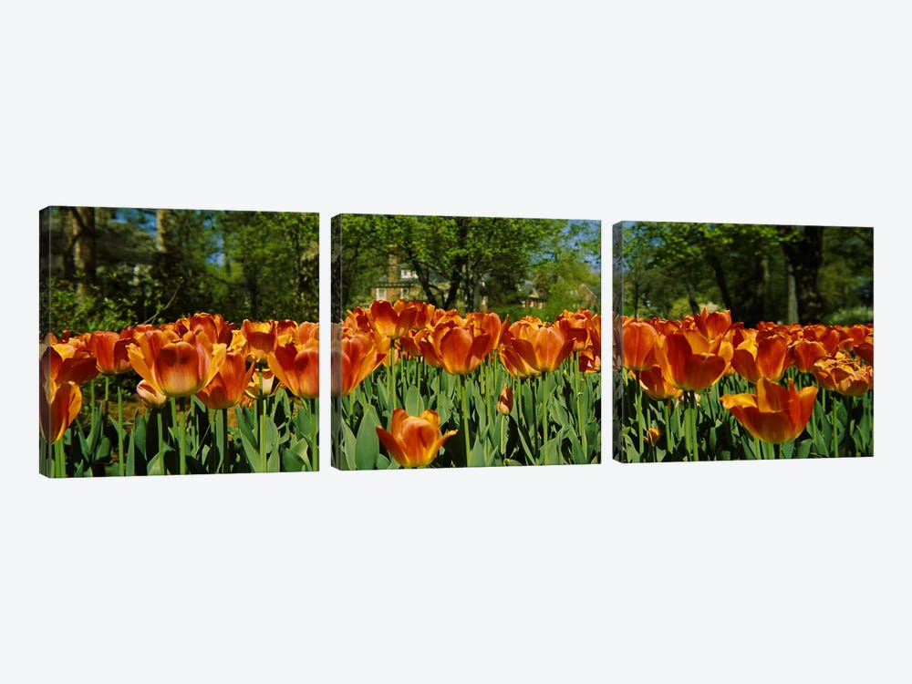 Tulip flowers in a garden, Sherwood Gardens, Baltimore, Maryland, USA #2 by Panoramic Images 3-piece Canvas Artwork