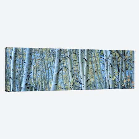 Aspen trees in a forest, Rock Creek Lake, California, USA #2 Canvas Print #PIM5916} by Panoramic Images Canvas Art Print