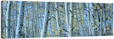 Aspen trees in a forest, Rock Creek Lake, California, USA #2 Canvas Print #PIM5916