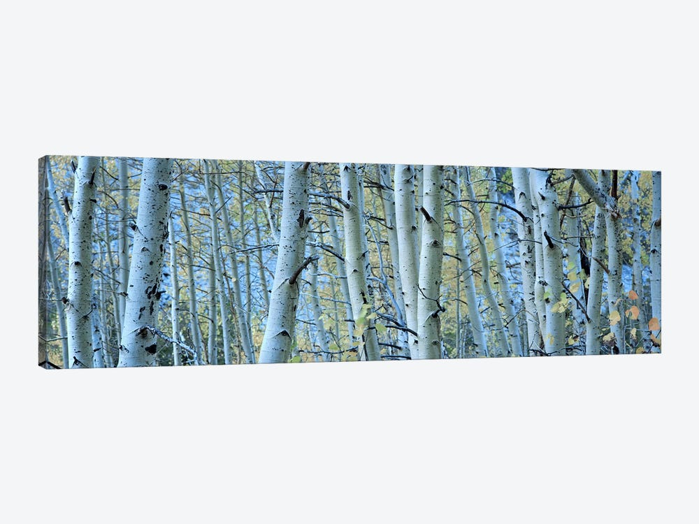 Aspen trees in a forest, Rock Creek Lake, California, USA #2 by Panoramic Images 1-piece Canvas Print