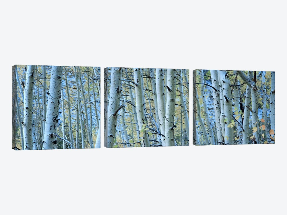 Aspen trees in a forest, Rock Creek Lake, California, USA #2 by Panoramic Images 3-piece Canvas Art Print