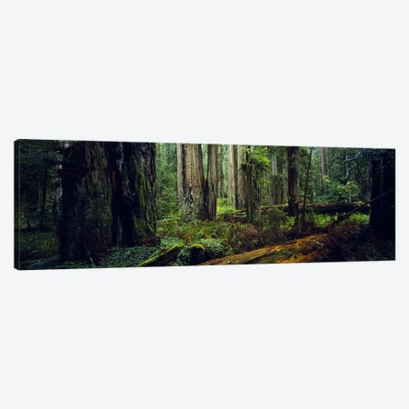 Trees in a forest, Hoh Rainforest, Olympic National Park, Washington State, USA Canvas Print #PIM5941} by Panoramic Images Art Print