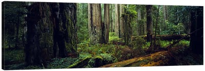Trees in a forest, Hoh Rainforest, Olympic National Park, Washington State, USA Canvas Art Print