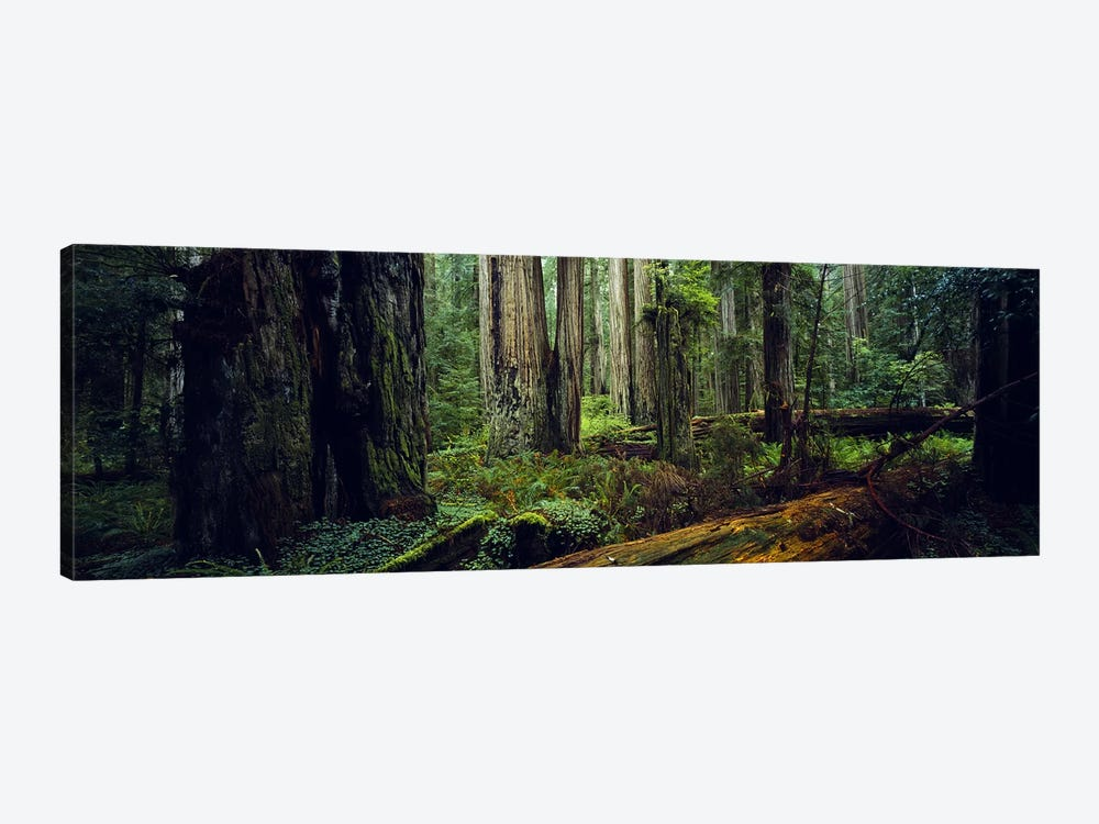 Trees in a forest, Hoh Rainforest, Olympic National Park, Washington State, USA 1-piece Canvas Print