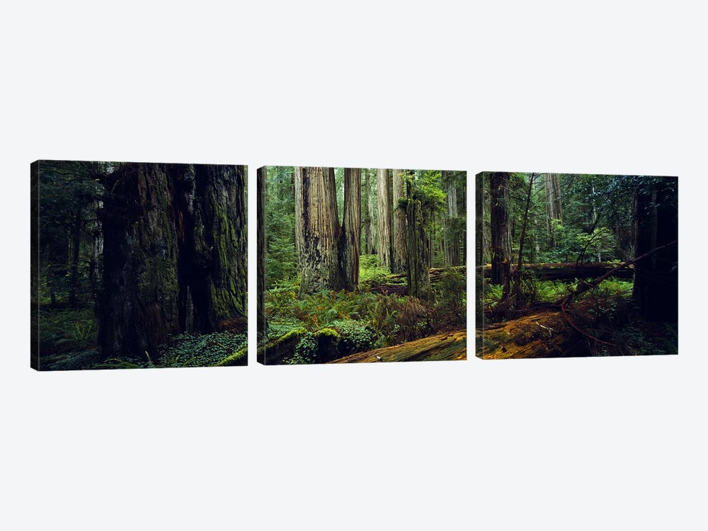 Trees in a forest, Hoh Rainforest, Olympic National Park, Washington State, USA 3-piece Canvas Art Print
