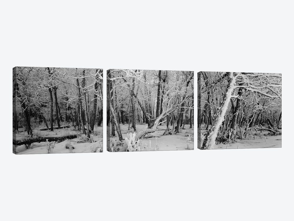 Snow covered trees in a forest, Alberta, Canada 3-piece Art Print