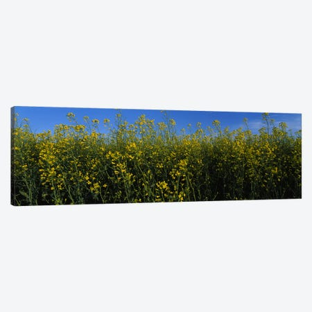 Canola flowers in a field, Edmonton, Alberta, Canada Canvas Print #PIM5948} by Panoramic Images Canvas Art Print
