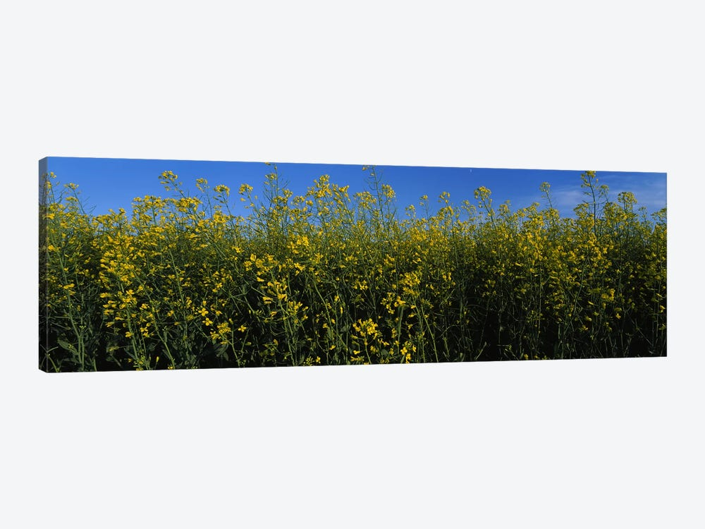 Canola flowers in a field, Edmonton, Alberta, Canada by Panoramic Images 1-piece Canvas Wall Art