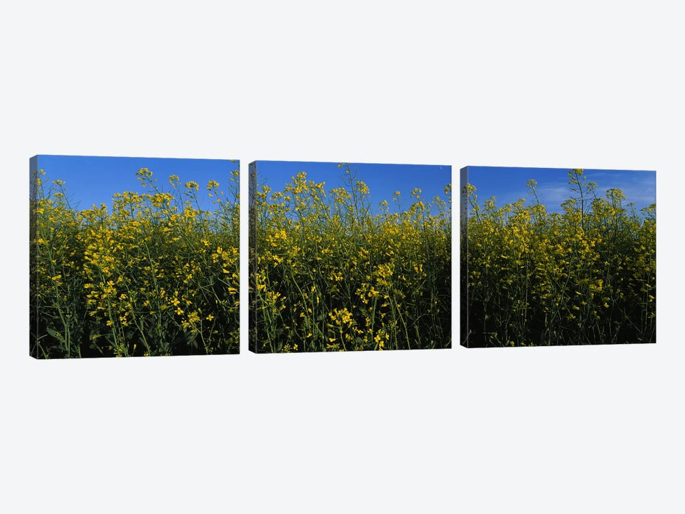 Canola flowers in a field, Edmonton, Alberta, Canada by Panoramic Images 3-piece Canvas Art