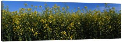 Canola flowers in a field, Edmonton, Alberta, Canada Canvas Art Print
