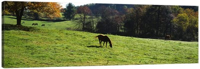 Horses grazing in a field, Kent County, Michigan, USA Canvas Art Print