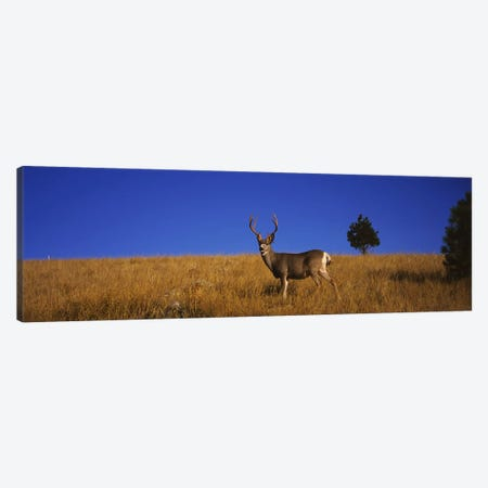 Side profile of a Mule deer standing in a fieldMontana, USA Canvas Print #PIM5976} by Panoramic Images Canvas Art Print