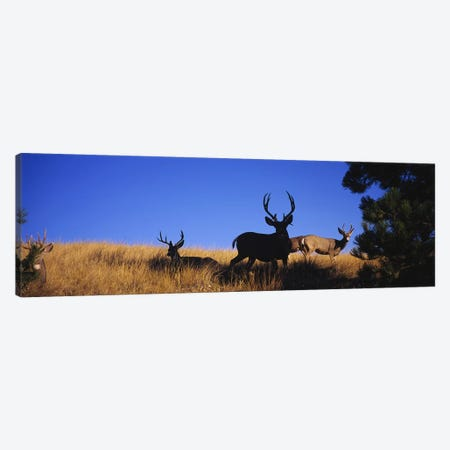Five Mule deer in a fieldMontana, USA Canvas Print #PIM5977} by Panoramic Images Art Print
