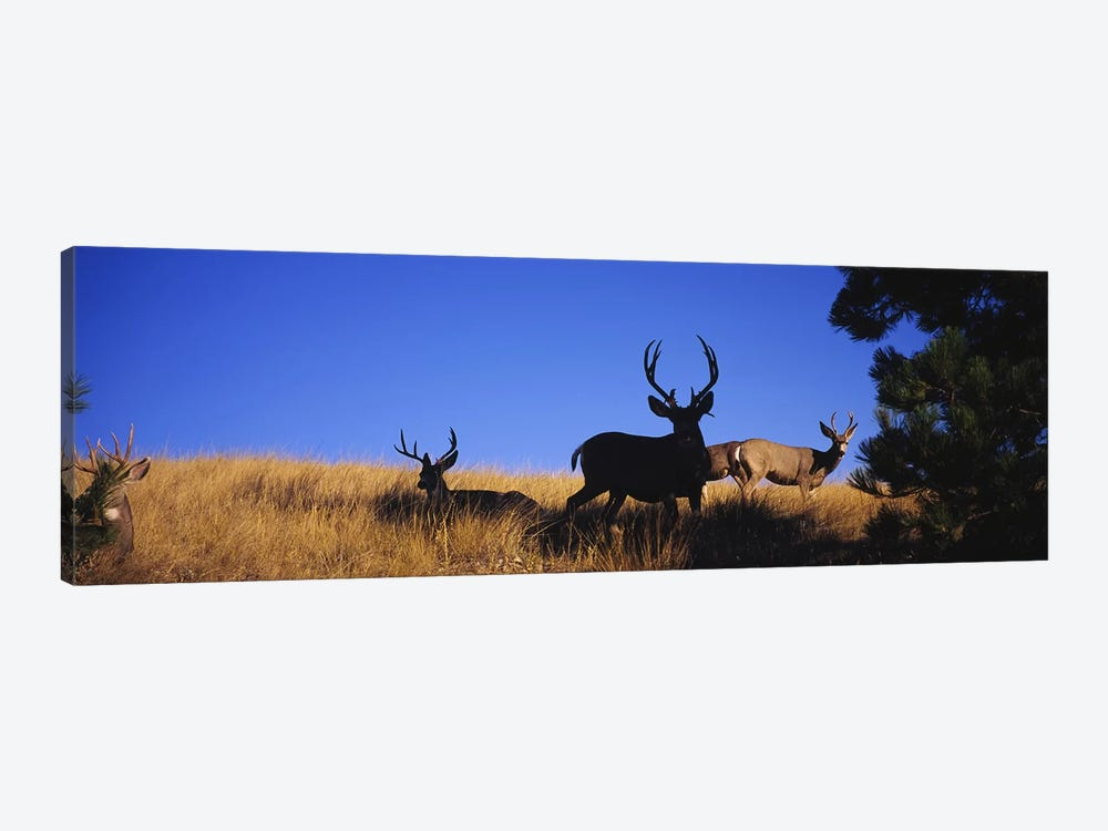 Five Mule deer in a fieldMontana, USA by Panoramic Images 1-piece Canvas Art