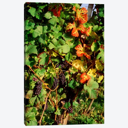 Fresh Grapes In A Vineyard, Near Lake Constance, Germany Canvas Print #PIM598} by Panoramic Images Canvas Artwork