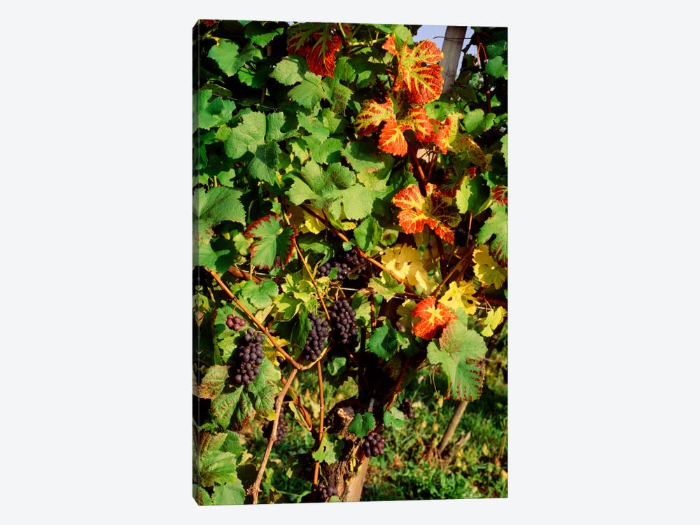 Fresh Grapes In A Vineyard, Near Lake Constance, Germany by Panoramic Images 1-piece Art Print