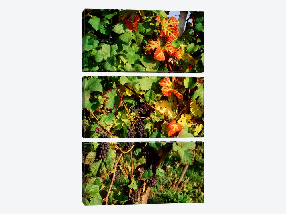 Fresh Grapes In A Vineyard, Near Lake Constance, Germany by Panoramic Images 3-piece Canvas Art Print