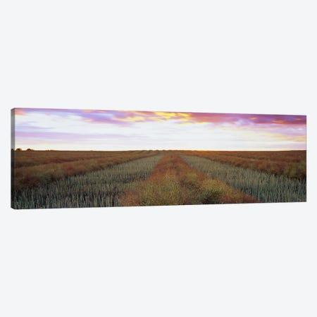 Canola Field, Edmonton, Alberta, Canada Canvas Print #PIM6007} by Panoramic Images Canvas Print
