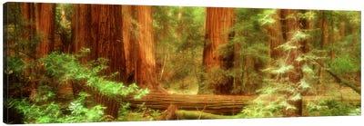 Coastal Redwoods, Muir Woods National Monument, Marin County, California, USA Canvas Print #PIM600
