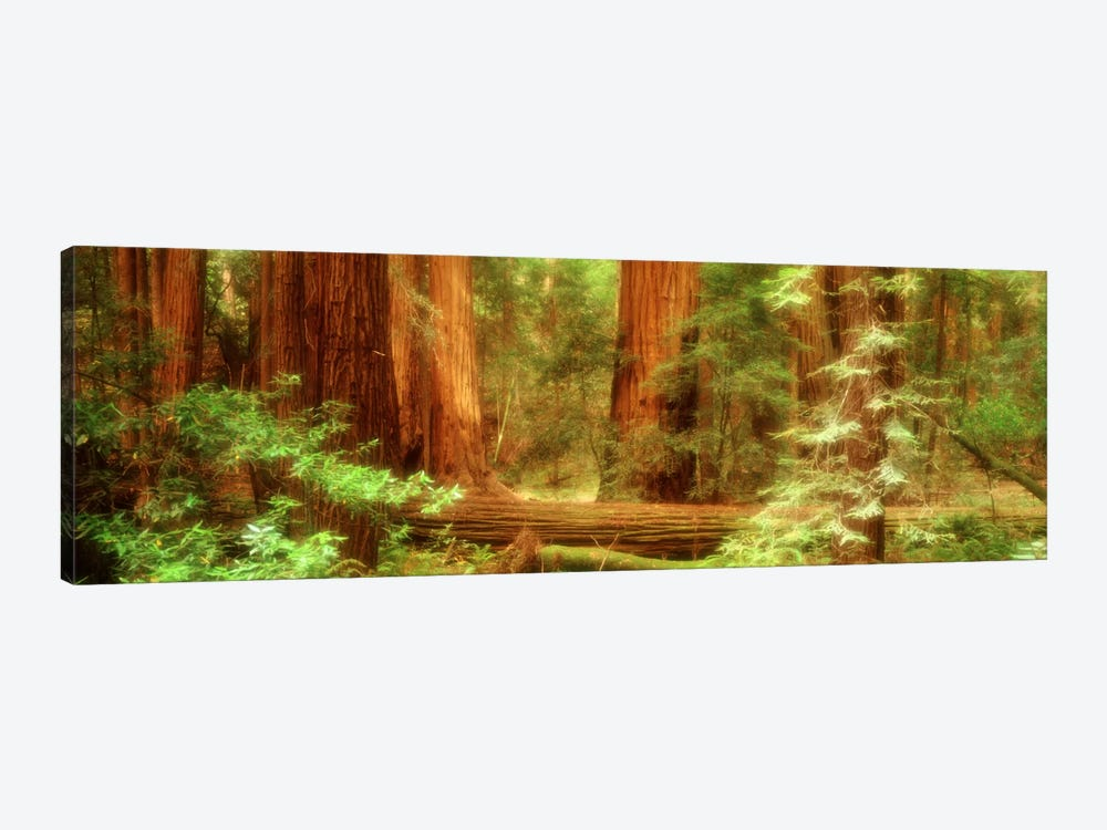 Coastal Redwoods, Muir Woods National Monument, Marin County, California, USA by Panoramic Images 1-piece Canvas Artwork